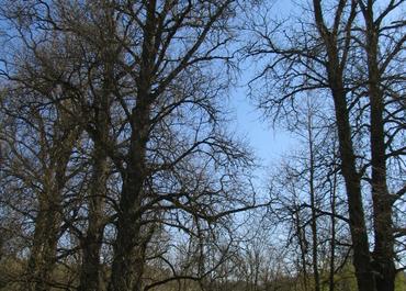 5 Bubiai Poplars