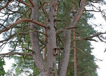 Pine of Napoleon