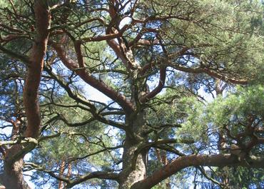Šaukėnai Pine