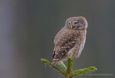 Paslaptingos miškų gyventojos – žvirblinės pelėdos